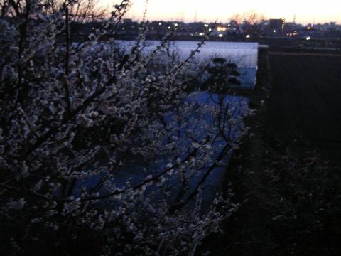 手賀沼湖畔の農家の庭の梅の花