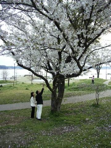 手賀沼公園の桜