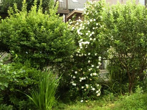 庭のくちなしの木