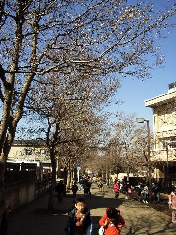 横浜の港北ニュータウンの横浜市立茅ヶ崎南小学校前の梅並木