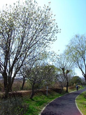 手賀沼沿いの遊歩道のこぶしの花(Ricoh GR-digital で撮影)