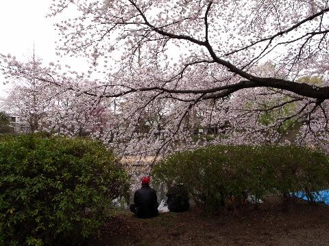 善福寺公園の桜と花見客