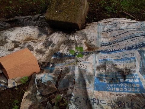 新聞紙を突き破って出てきたカモミールの芽
