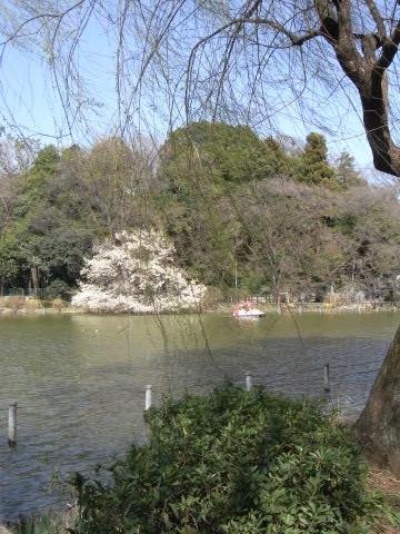 善福寺公園のコブシ(辛夷)