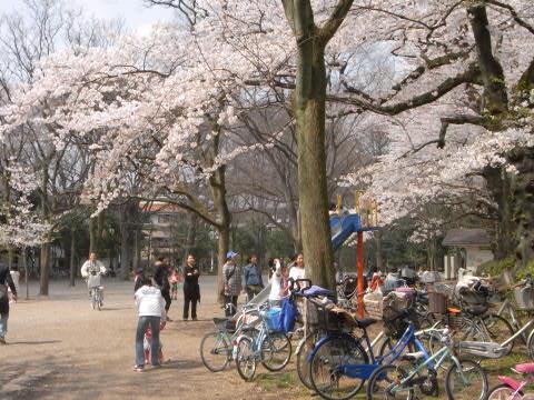 善福寺公園の満開に咲いた桜(下池)