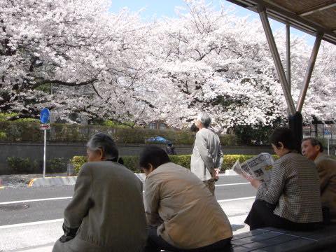 東大病院前のバス停の桜並木