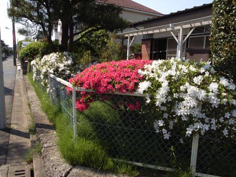 今が盛りの庭のツツジ