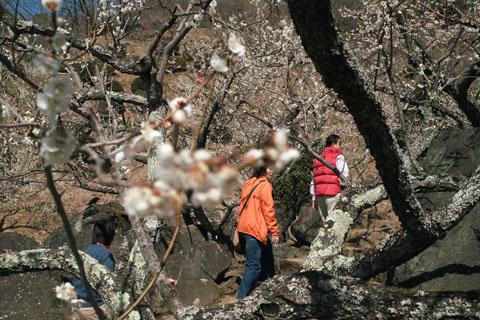 筑波山の梅まつり SIGMA DP2 で撮影