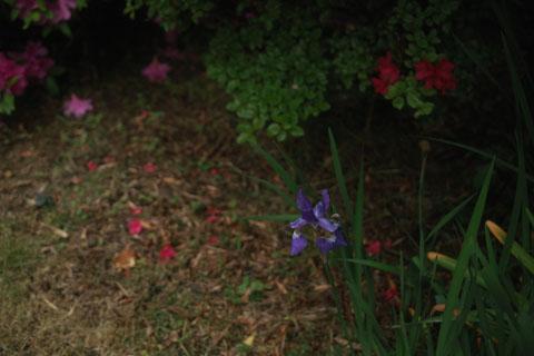 庭に咲いたかきつばた