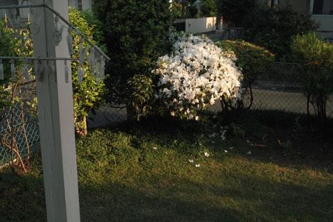 庭のつつじ終わり