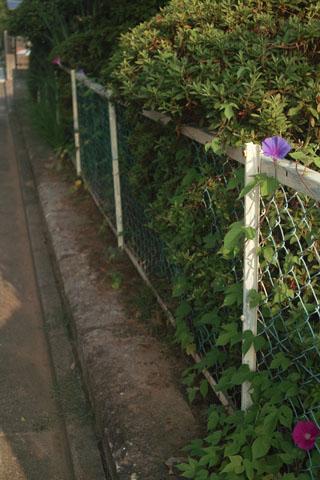 家の周りに咲いた朝顔 SIGMA DP2